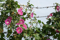 Bindweed and barbed wire. Bindweed growing on the barbed wire of a military unit Stock Photos