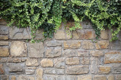 Bindweed climbing up stone wall Royalty Free Stock Photography