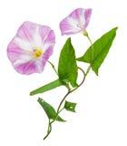 Bindweed (Convolvulus arvensis) ρόδινο λουλούδι Στοκ Φωτογραφίες