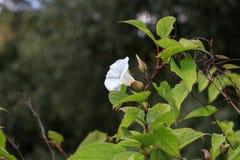 Bindweed Convolvulus arvensis στο λουλούδι Στοκ Φωτογραφία
