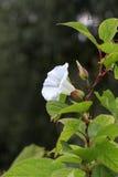Bindweed Convolvulus arvensis στο λουλούδι Στοκ εικόνα με δικαίωμα ελεύθερης χρήσης