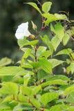 Bindweed Convolvulus arvensis Όμορφο άσπρο λουλούδι Στοκ Εικόνες