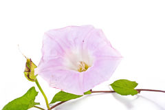 Bindweed. Convolvulus arvensis Stock Photos