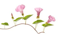 Bindweed flowers and foliage. Bindweed,Convolvulus arvensis flowers and foliage isolated against white Stock Photography