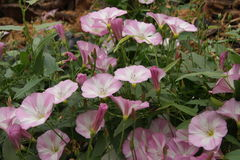 Bindweed (Convolvulus arvensis). Stock Images