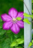 Bindweed flower Stock Photo