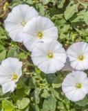 Bindweed flower closeup Stock Photos
