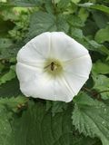 Bindweed flower in nettle patch with hover fly Royalty Free Stock Photos