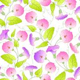 Bindweed flower seamless pattern. Royalty Free Stock Photo