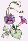 Bindweed flower, watercolor, pattern. Bindweed   flower  bouquet watercolor  pattern  white background  handmade Royalty Free Stock Photos