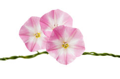 Bindweed flowers isolated Royalty Free Stock Photography