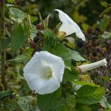 Bindweed flowers on a plant. Bindweed flowers slowly choke a blackberry bush stock images
