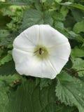 Bindweed kwiat w pokrzywowej łacie z unosi się komarnicy zdjęcia royalty free