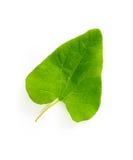 Bindweed Leaf Royalty Free Stock Photo