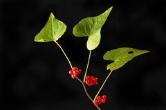 Bindweed leaves and berries. Isolated against black royalty free stock images
