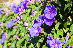 Bindweed plant in sunny day stock image