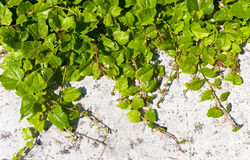 Bindweed plant on a wall Stock Photos