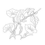 Bindweed. Sketch black and white. Vector illustration Stock Photos
