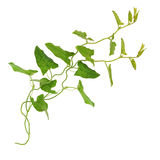 Bindweed sprigs with leaves Royalty Free Stock Images