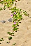 Bindweed with three pale purple flowers creeping. Along the beach Stock Photos