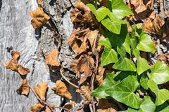 Bindweed on a trunk of an olive tree Royalty Free Stock Images