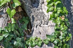 Bindweed on a trunk of an olive tree Stock Image