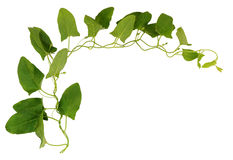 Bindweed twig with green leaves Royalty Free Stock Photography