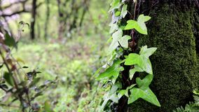 Bindweed twig with green leaves on a tree with moss. On a rainy day stock video