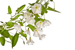 Bindweed  on a white background. Stock Photos
