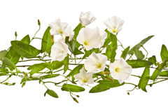 Bindweed  on a white background. Royalty Free Stock Images