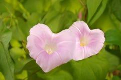 bindweeds tworzą serce Fotografia Stock