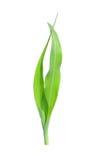 Bine de maïs Photographie stock libre de droits