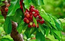 Bing Cherries, Meer Osoyoos, Brits Colombia, Canada royalty-vrije stock foto