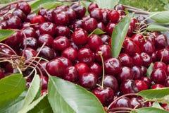 Bing cherry. Fresh furrowed cherries in the basket Stock Image