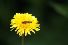 Bing Fragrant dandelion Golden yellow royalty free stock images