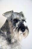 Miniature Schnauzer dog. Portrait of miniature schnauzer dog in salt and pepper colors with studio background Stock Photos