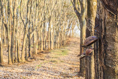 BINH PHUOC, ΒΙΕΤΝΆΜ - 6 Φεβρουαρίου 2015 - όταν αφήνει το λάστιχο την πτώση στοκ εικόνα