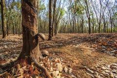 BINH PHUOC, ΒΙΕΤΝΆΜ - 6 Φεβρουαρίου 2015 - όταν αφήνει το λάστιχο την πτώση στοκ φωτογραφία με δικαίωμα ελεύθερης χρήσης