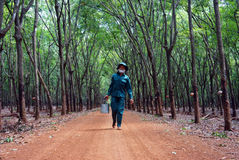 Worker collecting  latex rubber  at rubber plantat. BINH PHUOC, VIET NAM- MAY 9. Worker working at rubber plantation, they collecting rubber latex . Binh Phuoc Royalty Free Stock Photography