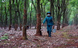 Worker collecting  latex rubber  at rubber plantat. Worker working at rubber plantation, they collecting rubber latex . Binh Phuoc, Viet Nam- May 9, 2013 Royalty Free Stock Images