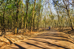 BINH PHUOC, VIETNAM - FEB 06, 2015 - When rubber leaves falling Stock Image
