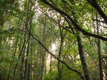 Binnen bos omhoog hoog groene de takkenachtergrond van bladerenbomen Stock Foto's
