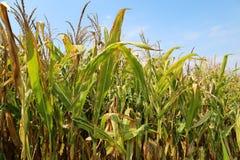 Binnen cornfield stock foto's