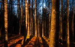 Binnen de bossen bij zonsondergang met zonlicht die boomboomstammen raken stock afbeeldingen