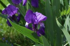 Binnen de iris flowerworld Royalty-vrije Stock Afbeelding