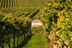 Binnen de wijngaard Royalty-vrije Stock Fotografie