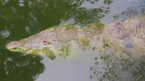 Binnen de wildernis wacht een krokodil op prooi in de machtige rivier van Orinoco, stock footage