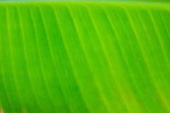 Binnen een banaanblad Stock Foto