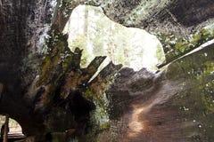 Binnen een Californische sequoiaboomstam Stock Foto