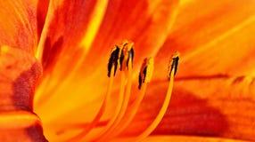 Binnen een oranje lelie Stock Afbeeldingen